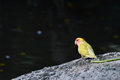 Lovebird agapornis near pond perches at edge Royalty Free Stock Photo