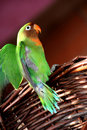 Lovebird flapping its wings Royalty Free Stock Photography