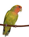 Lovebird isolated on white background agapornis roseicollis Stock Photo
