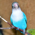 Lovebird peach faced agapornis roseicollis blue morph Stock Image