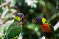 Lovebirds on a branch colorful pair of sitting Royalty Free Stock Photography