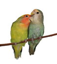 Lovebirds isolated on white background agapornis roseicollis Royalty Free Stock Photos