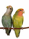 Lovebirds isolated on white background agapornis roseicollis Stock Image