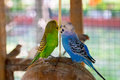 Lovebirds pair of Stock Photography