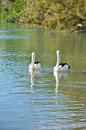 Lovely australian pelicans in the lake two Stock Image