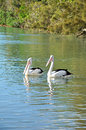 Lovely australian pelicans in the lake two Royalty Free Stock Image