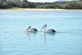 Lovely australian pelicans in the lake two Royalty Free Stock Photo