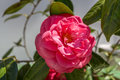 Lovely beauty rare pink rose Middle Mist Red in the garden wit Royalty Free Stock Photo