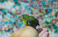 Lovely bird on human hand Stock Images