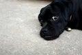 Lovely black puppy dog lied on cement ground floor