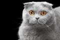 Lovely blue scottish fold cat golden eyes black background Stock Photo