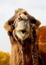 Lovely camel a cute who is speaking to us Stock Photos
