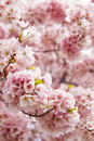Lovely cherry blossoms in early spring with out of focus area for copy space Stock Image