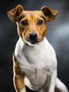 Lovely dog little over a dark background Stock Photography