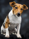 Lovely dog little over a dark background Royalty Free Stock Images
