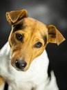 Lovely dog little over a dark background Royalty Free Stock Photos