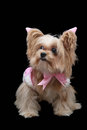 Lovely Dog in Pink Pastel Dress Royalty Free Stock Photo
