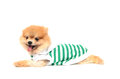 Lovely dog prostrated wearing a shirt is Royalty Free Stock Photo