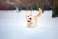 Lovely dog running in winter funny purebreed with toy Stock Image
