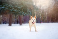 Lovely dog running in winter purebreed walking forest Royalty Free Stock Photography