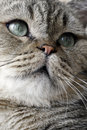 Lovely face of the cat. Stock Images