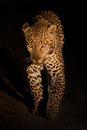 Lovely Female Leopard Walking ...