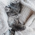 Lovely, gray kitten gently asleep Royalty Free Stock Photo