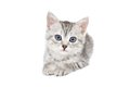 Lovely gray kitten on a white background isolated Royalty Free Stock Photo