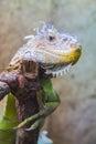 Lovely Iguana Royalty Free Stock Photo