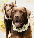 Lovely labradors in a vintage floral collar in summer time Royalty Free Stock Image