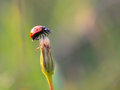 Lovely ladybug on a summer flower intended blurredness and vignette vibrant colors Royalty Free Stock Image