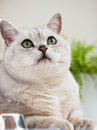 Lovely light shorthair British cat with green eyes on a white background close-up. Veterinary concept and ecology of