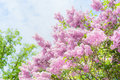 Lovely lilac blooming over sky background outdoor nature background with lilac blossom in garden or park Royalty Free Stock Photography