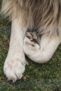 Lovely Lion Paws Stock Photo