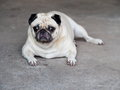 Lovely lonely white fat cute pug dog laying on the concrete garage floor