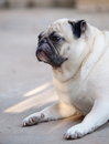 Lovely lonely white pug dog on the floor fat laying a garage with green bokeh background looking outside for something Royalty Free Stock Image