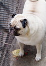 Lovely lonely white pug dog on the floor fat standing a garage looking outside for something Royalty Free Stock Photo