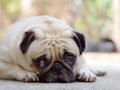 Lovely lonely white pug dog portraits close up of a fat cute laying flat on the concrete floor making sadly face with green Royalty Free Stock Photography