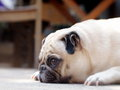 Lovely lonely white pug dog portraits close up of a fat cute laying flat on the concrete floor making sadly face with home outdoor Stock Photos