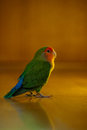 Lovely Love bird Stock Images