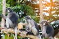 Lovely monkeys,cute Macaque glasses,funny monkey lives in a natural forest of Thailand Royalty Free Stock Photo
