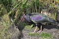 Lovely Northern Bald Ibis Geronticus Eremite bird feeding on riv Royalty Free Stock Photo