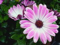 Lovely pink Spanish daisy in the rain Royalty Free Stock Photo