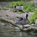 Lovely Puna Teal anus puna bird duck preening itself on riverban