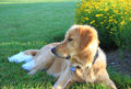 Lovely puppy golden retriever cute sit in park under early morning sunshine Royalty Free Stock Photography