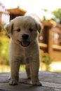 Lovely puppy on table Royalty Free Stock Photo