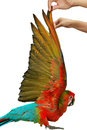 Lovely red and blue macaw parrot,Hand wings of bird raised. Royalty Free Stock Photo