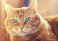 Lovely red cat looking camera soft focus Royalty Free Stock Photo