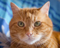 Lovely red cat looking into the camera soft focus Stock Photos