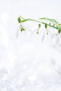 Lovely snowdrop flowers soft focus on white studio snow perfec perfect for postcard Royalty Free Stock Images